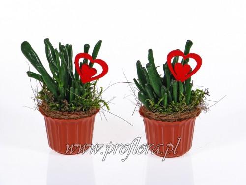sukulent Walentynkowy Hol kompozycje kwiatowe od Proflory